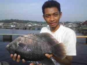 induk ikan gurame