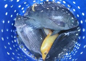 ikan nila besar